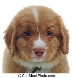 Nova Scotia Duck Toller puppy isolated on white