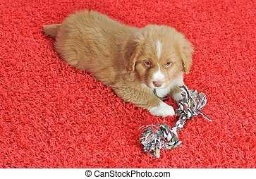 Nova Scotia Duck Toller puppy on a red carpet