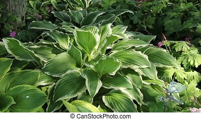 hosta flower bed - hosta flower garden with birds singing in...