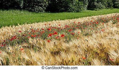 Poppies in a wheat field.