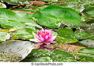 Pink lotus blossom in a pond
