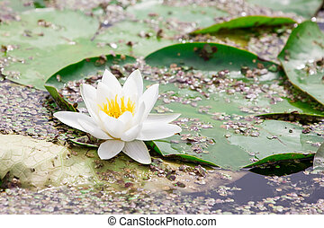 White  lotus blossom  in a   pond
