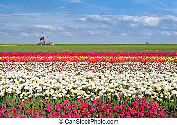 colorful tulip fields in Alkmaar, North Holland - colorful...