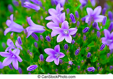 campanula  (or bellflowers), floral background.