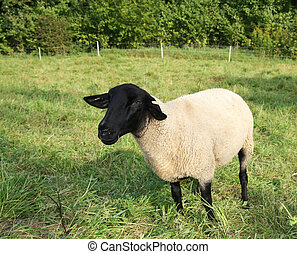 Sheep of Highland Black-faced breed