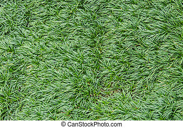 The lawn grass