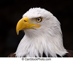 bald eagle - Shooting the animal in an aviary