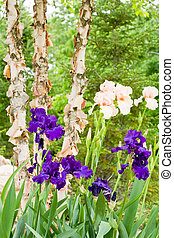 Purple and Peach Irises