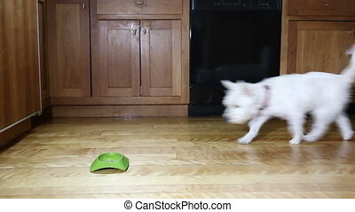 Small dog eating dinner - Footage of a small dog running...