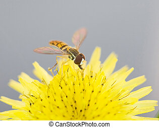 Sweat Bee - Close Up of Sweat Bee on Yellow Dandelion
