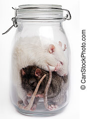 Rats in the container - White and grey rat in a glass...