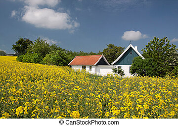 Yellow rape field and farmhouses in Melsted on Bornholm,...