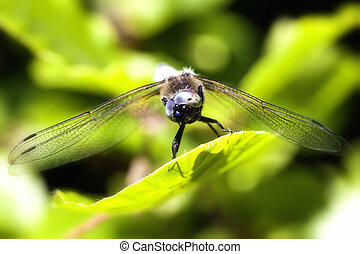 funny looking broad-bodied chaser - Libellula depressa in a...