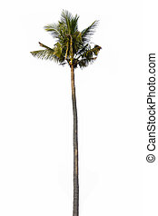 old coconut palm tree isolated on white background