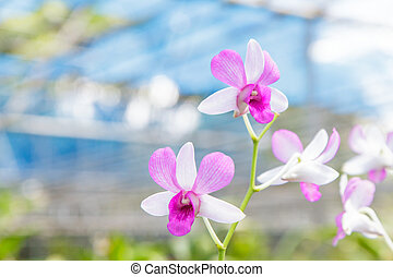 orchid in farm