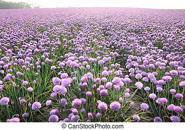 Flowering onion field - Lush blooming onion field area near...
