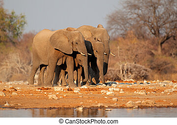 Elephants at waterhole - African elephants (Loxodonta...