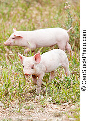 cute little pig piglet outdoor in summer