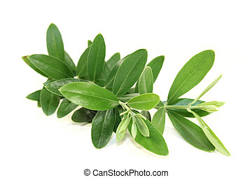 Olive branch - a green olive branch in front of white...