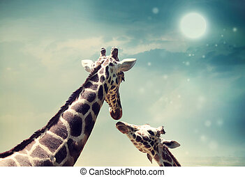 Giraffes in friendship or love concept image - Two Giraffes,...