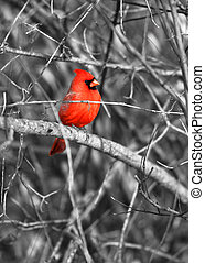 Cardinal - Northern cardinal bird on the branch