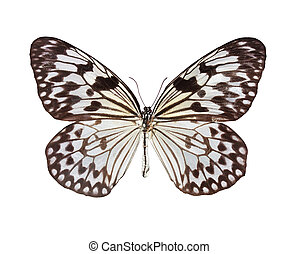 The Paper Kite butterfly - The Paper Kite, Rice Paper, or...