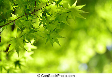 Maple verdure Early summer season
