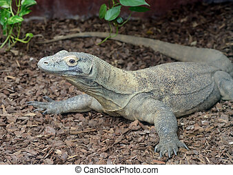 Komodo dragon is large dangerous reptile