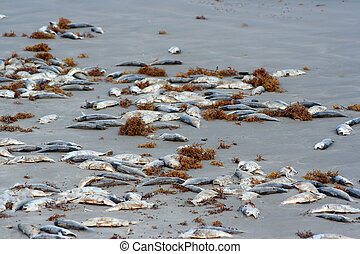 Dead Fish on the Beach - A lot of dead fish on the beach