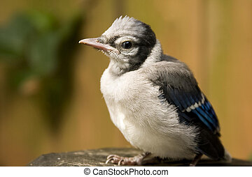 A baby blue jay perches after his first attempt at flight.
