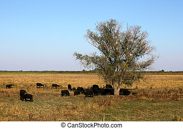 European bisons grazing and resting in a trees shadow in the...