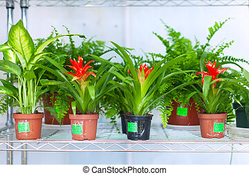 Shelves with Guzmania and Dieffenbachia in pots in flower...