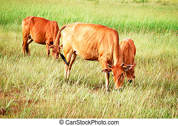 Cattle breeding ground for the city