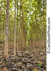 Teak trees,Thailand - Teak trees in an agricultural forest,...