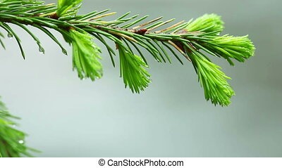 Freshness - Fresh sprouts of fir needles on the branch