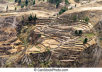 Corn Terraces in Colca Canyon, Peru