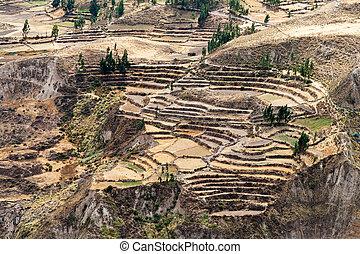 Corn Terraces in Colca Canyon, Peru