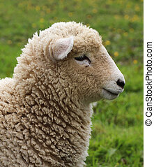 Wooly Sheep - Nice young New Zealand lamb about three months...