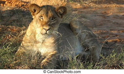 African lion - Lioness (Panthera leo) lying in the grass,...