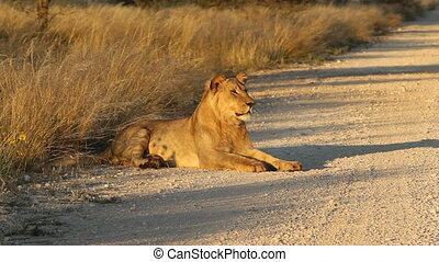 African lion - Young male African lion Panthera leo...