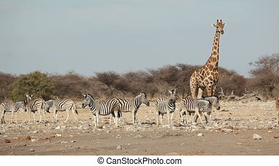 Etosha waterhole - Plains Burchells zebras and a giraffe at...