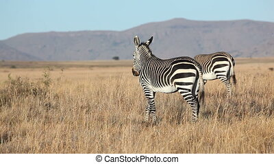 Grazing Cape Mountain Zebras - Cape Mountain Zebras (Equus...