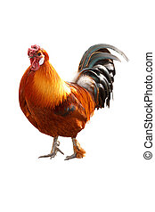 Bright colorful cockerel - Bright and colorful healthy...
