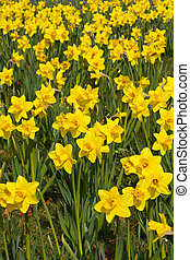 Spring daffodils background - Daffodils in park a popular...
