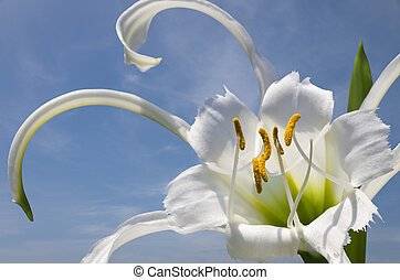 Spider Lily - A pure white Spider Lily flower Hymenocallis...