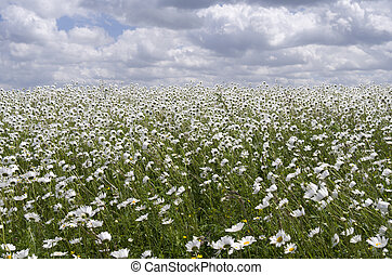 Field with daisies.