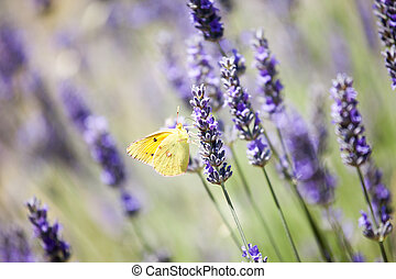 Beautiful detail of a lavender field. - Provence, typical...