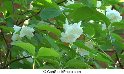 Blossoming jasmine. - HD 1080 closeup shot of beauty white...