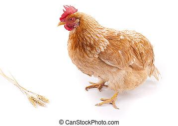 Brown chicken on a white background