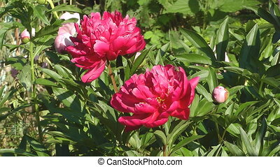 Peony - Flowerbed with peonies in the sunny summer day